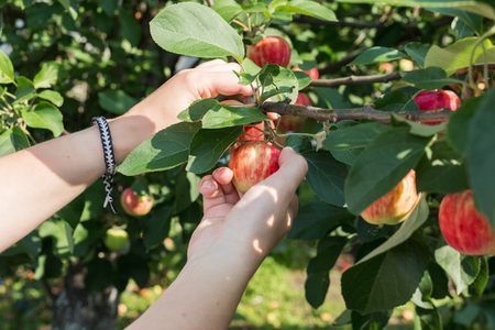 A woman's hand picking a red ripe apple from the apple tree
