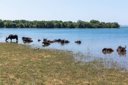 Wild buffaloes escape from the heat in the lake in Udawalawe National Park of Sri Lanka