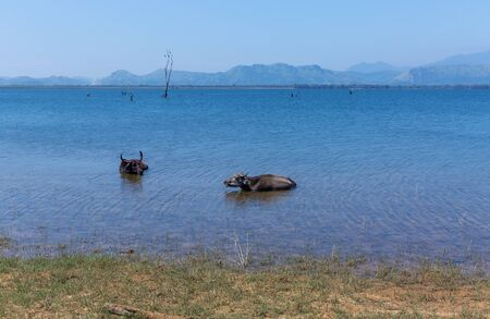 Wild buffaloes escape from the heat in the lake in Udawalawe National Park Stock Photo