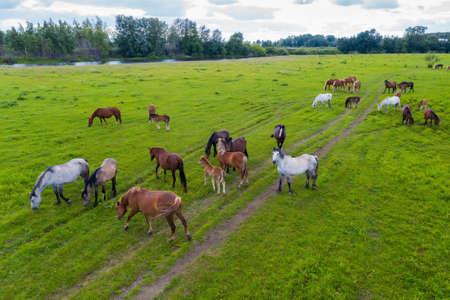 A herd of horses graze in a green meadow along the river Foto de archivo