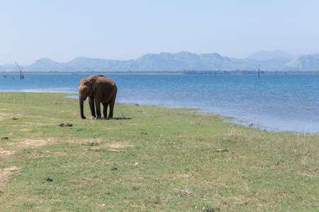 Close up of elephant in a Udawalawe National Park of Sri Lanka Foto de archivo