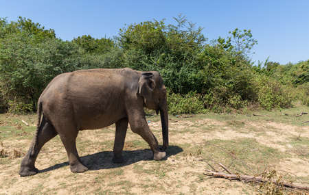 Close up of elephant in a Udawalawe National Park of Sri Lanka Archivio Fotografico