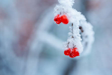 Red rawanberry covered with snow in winter day