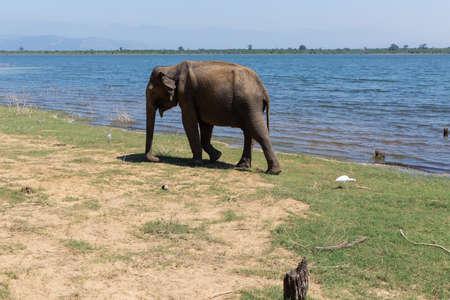 Close up of elephant in a Udawalawe National Park of Sri Lanka Stockfoto
