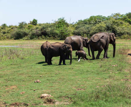 Close up of elephant family with a newborn baby elephant in a National Park of Sri Lanka Stockfoto