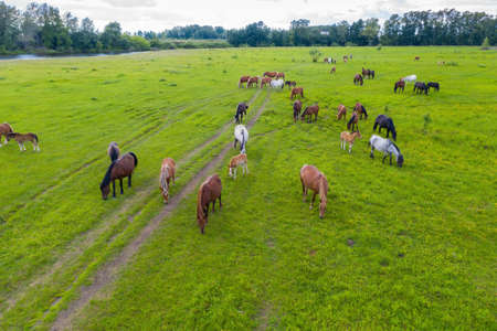 A herd of horses graze in a green meadow along the river Stockfoto