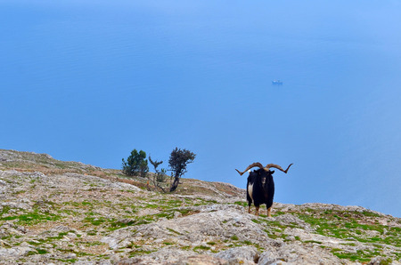 stupidity: A lone mountain goat standing on a rock. On the horizon, the sea.
