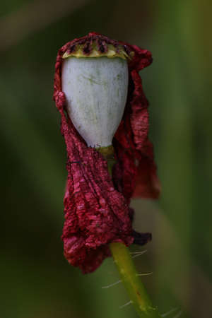 macrophotography: Original macrophotography of a withered poppy flower