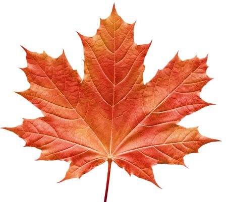red maple leaf: Close-up of a perfect red maple leaf isolated on pure white background