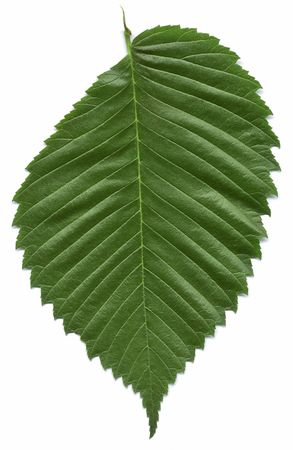 elm: Leaf of the American elm tree isolated on white background