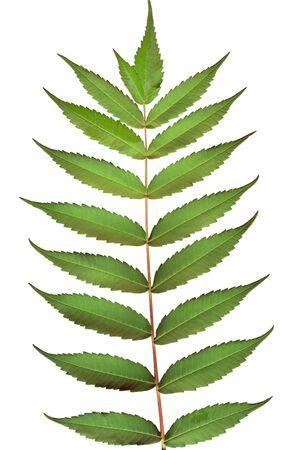 Leaves of black walnut tree on white Stock Photo - 272355