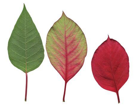 changing color: Poinsettia hojas cambiando de color