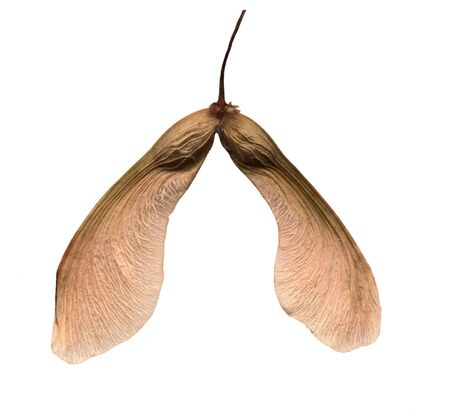 Winged mature maple seed isolated on white background