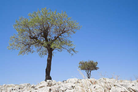 Two trees grow on rocky hill