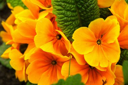 Orange primula flowers closeup in the garden photo