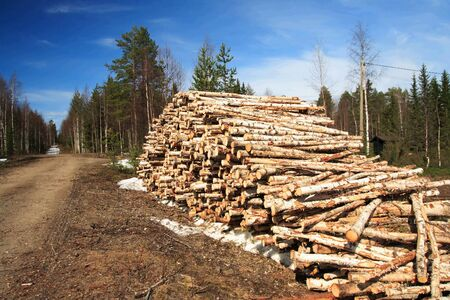Cut birch logs at the edge of the forest