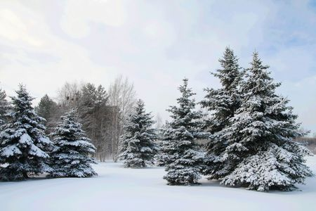 A group of fir trees covered in snow