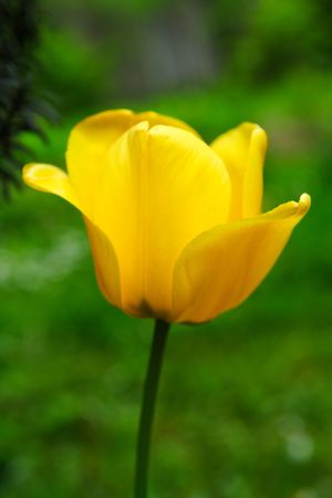 Yellow tulip closeup in the garden photo