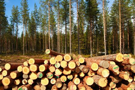 Cut birch logs at the edge of the forest Stock Photo - 3293220
