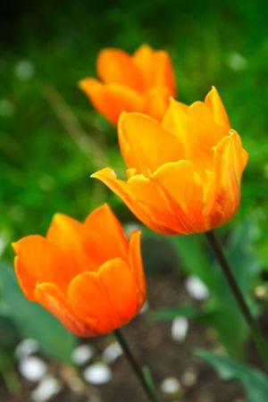 Orange tulip closeup in the garden photo