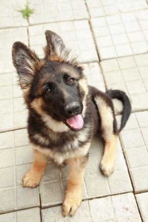 German shepherd puppy 4 months old Stock Photo