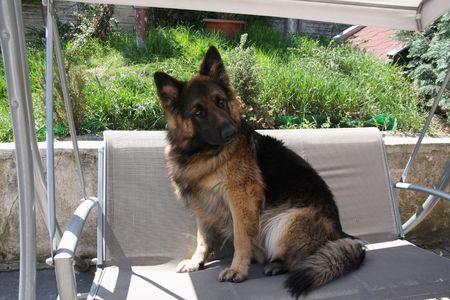 Beaut�ful German shepherd young male dog  photo