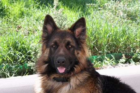 Beaut�ful German shepherd young male dog Stock Photo - 5810857
