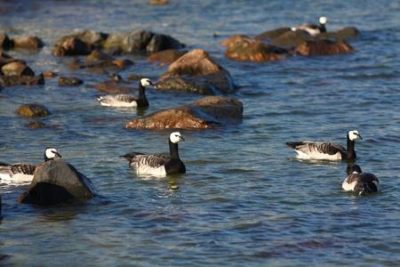canadian geese: Canadian geese in Helsinki, Finland