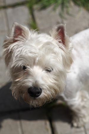 West Highland terrier small puppy close up photo