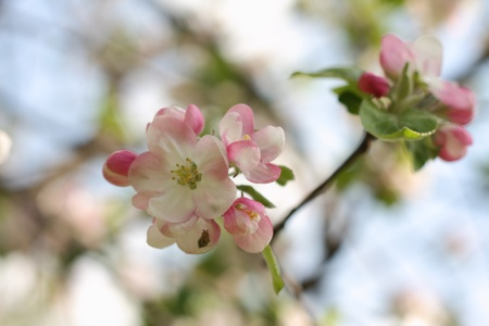 Apple tree blossoms close up in a garden photo