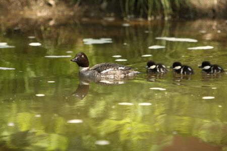 Small wild duckling on a pond in Finland photo