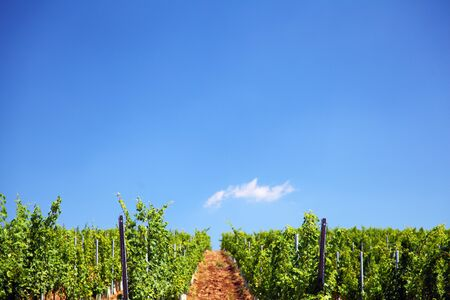 Lines of vine plants in a vineyard in Romania