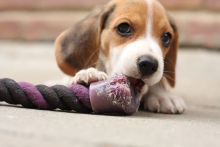 Small beagle puppy, two month old dog