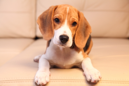 beagle puppy: Female Beagle puppy on a white leather sofa Stock Photo