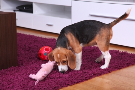 Female Beagle puppy inside a modern apartment playing with an interactive ball
