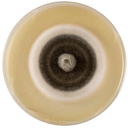 mycology: Mold in Petri dish Stock Photo