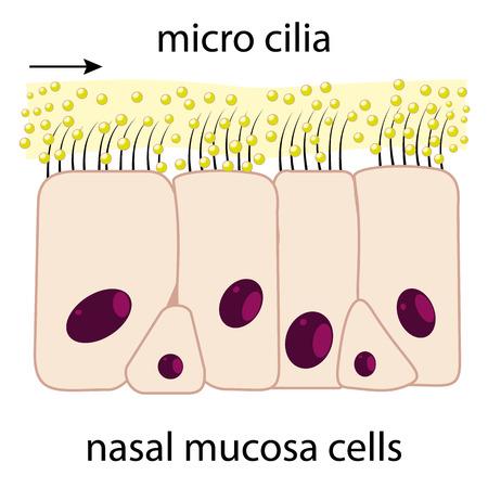 Cellule della mucosa nasale e schema vettoriale micro ciglia