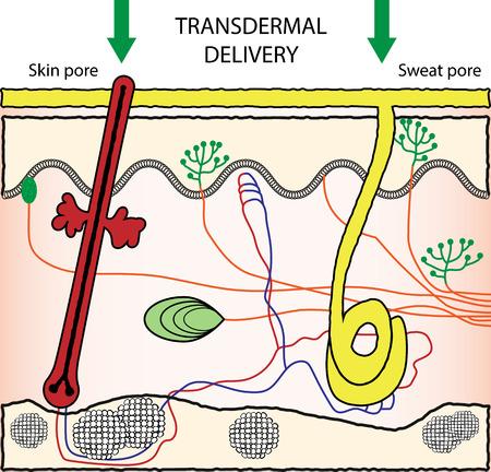 pore: Vector scheme illustration of transdermal drugs delivery