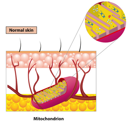 Structure mitochondrion organelle found in most eukaryotic cells vector diagram Illustration