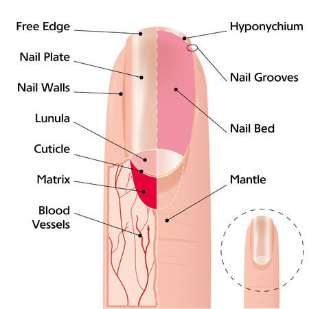unas largas: Ilustración esquema de Medicina de la estructura de la uña del dedo humano Vectores