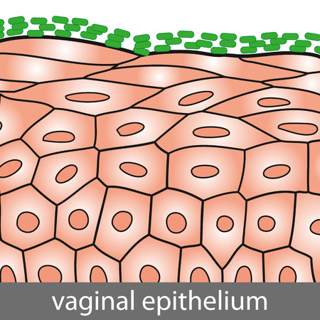 Medical illustration of Vaginal Epithelium Structure with Lactobacilli on the Surface Illustration