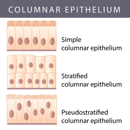 transitional: Medical illustration of the Different Epithelium Structure Types