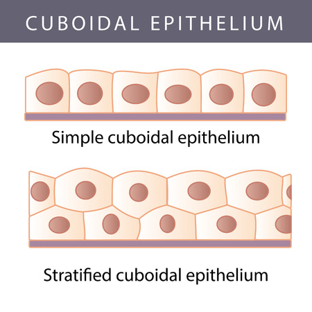 submucosa: Medical illustration of the Different Epithelium Structure Types