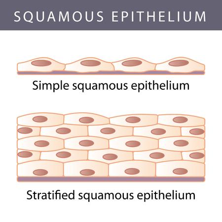 Medische illustratie van de verschillende Epithelium Structure Types Stock Illustratie