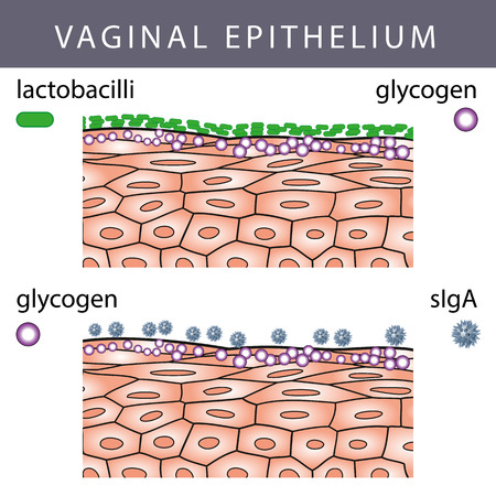 Medical illustration of Vaginal Epithelium Structure with Lactobacilli on the Surface and Glycogen molecules