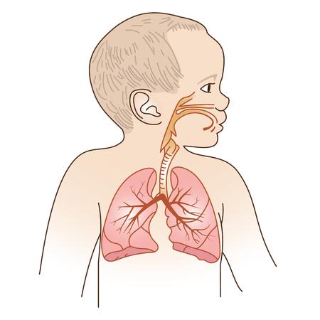 Vector Illustration of a Child Respiratory System Organs 일러스트