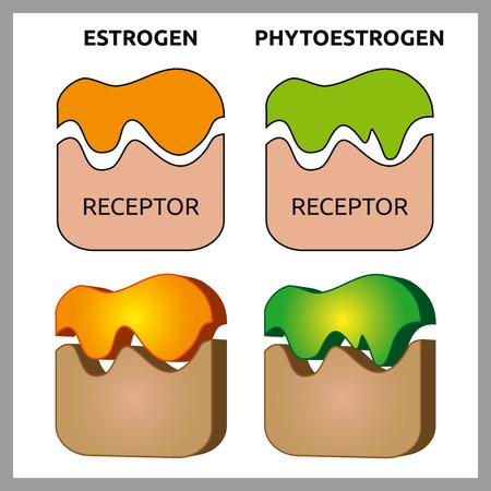 receptors: Medical vector illustration of difference between estrogen and phytoestrogen receptors