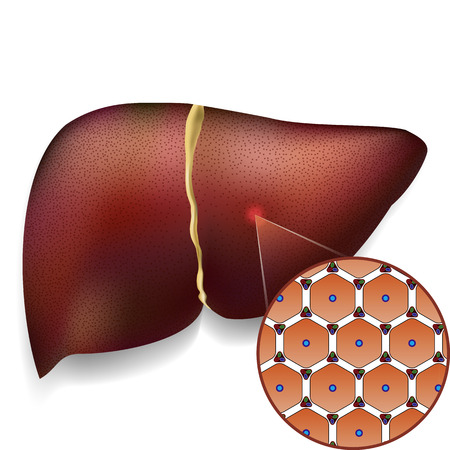 scarring: Medical vector illustration of normal liver cell structure