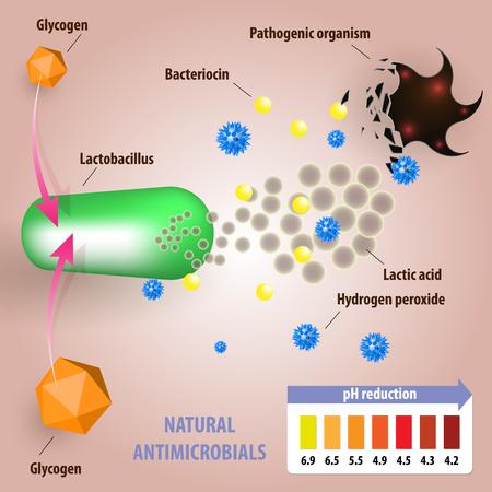 Antimicrobiële eigenschappen van lactobacillen.