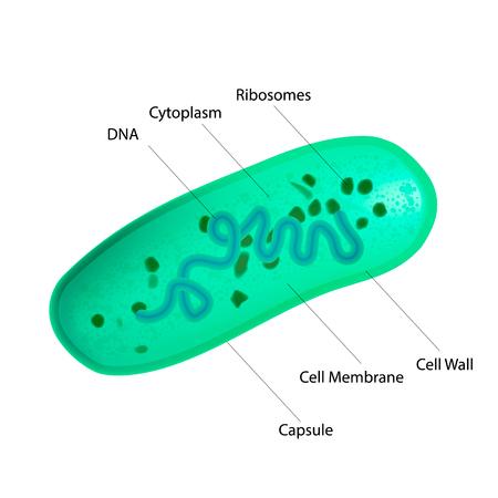 Lactobacillus 박테리아의 내부 구조. 의료 벡터 일러스트 레이션 일러스트